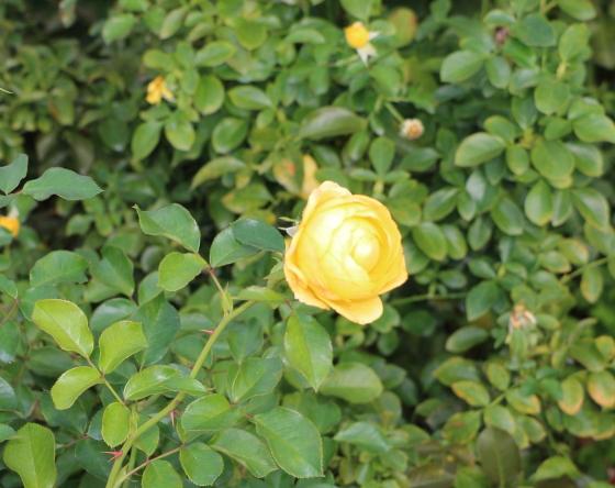 ポラリス・アルファは丸弁ロゼット咲き