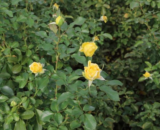 ポラリス・アルファは中輪サイズの花径です