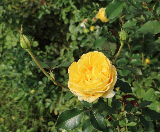 ポラリス・アルファはフロリバンダ系統のバラ
