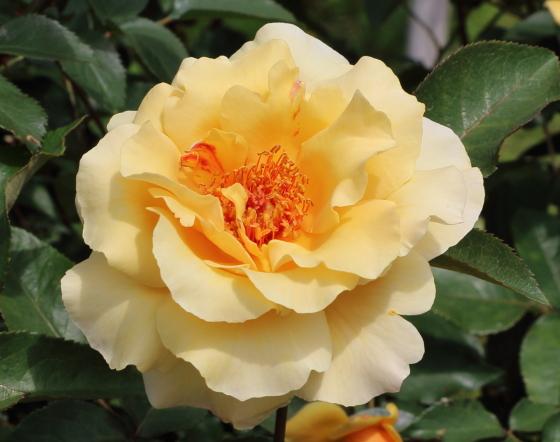 ロマンティックジュリアは四季咲き性です