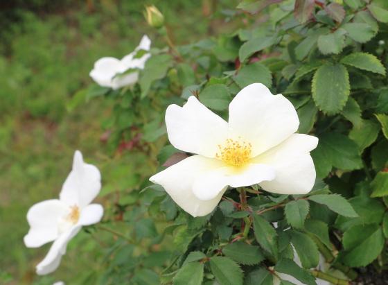 ホワイト・ノック・アウトは純白色の平咲き
