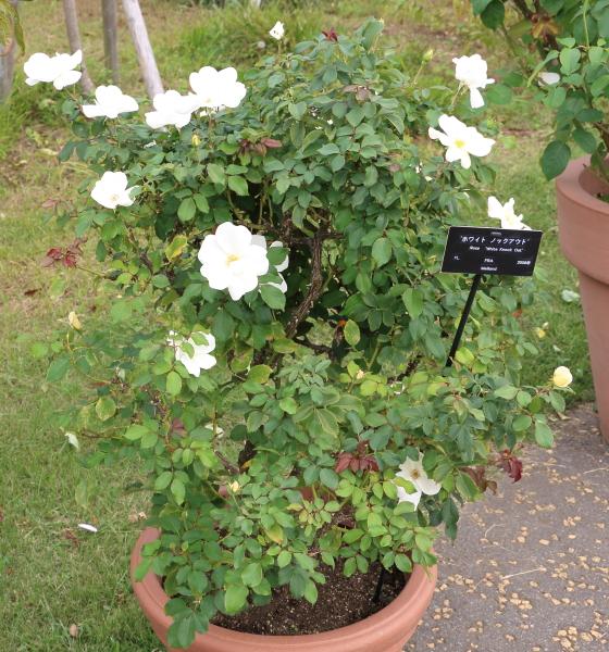 ホワイト・ノック・アウトは四季咲き品種です