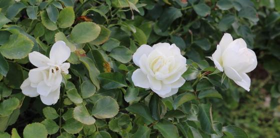 ホワイト メイディランドは四季咲き性です