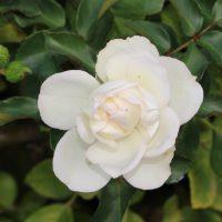ホワイト メイディランドはロゼット咲きです