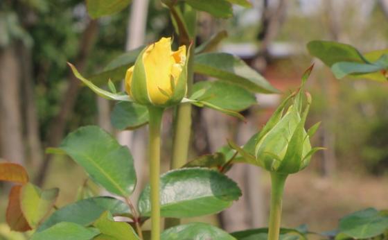 イエロー・バードの花形は剣弁高芯咲きです