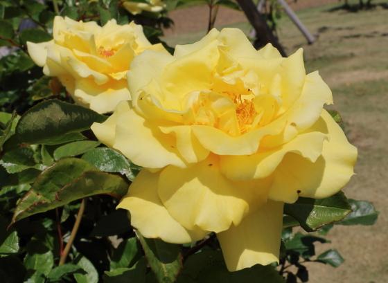 イエローバードは四季咲き性です