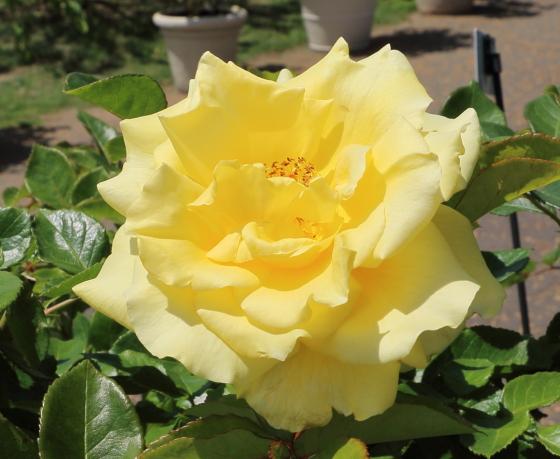 イエローバードは剣弁高芯咲きです