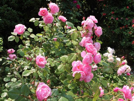 ボウ・ベルズの花形はカップ咲きです