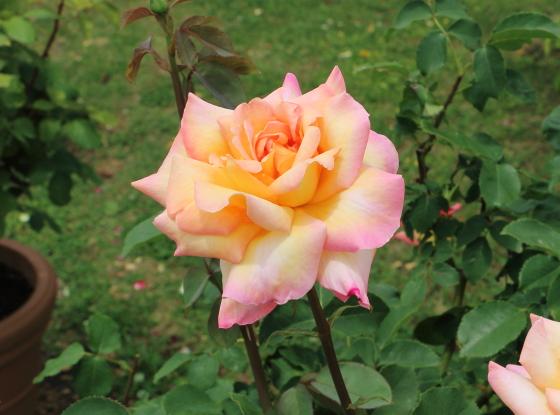 コッペリアは四季咲きです