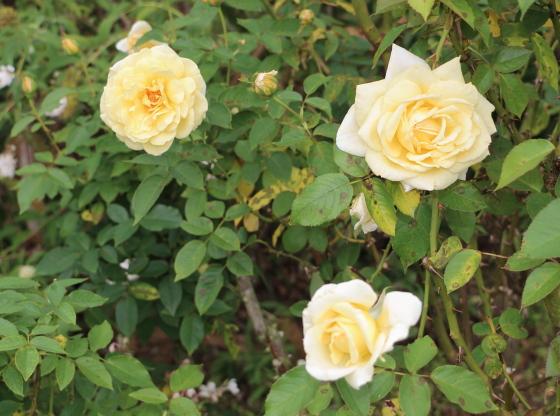 フーペルネデュッセは四季咲き性
