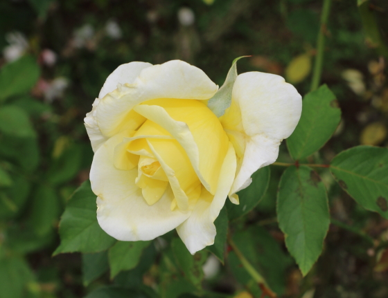 フーペルネデュッセは花径12cmの大輪花