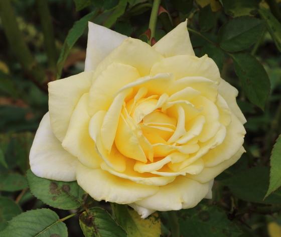フーペルネデュッセは半剣弁高芯咲き