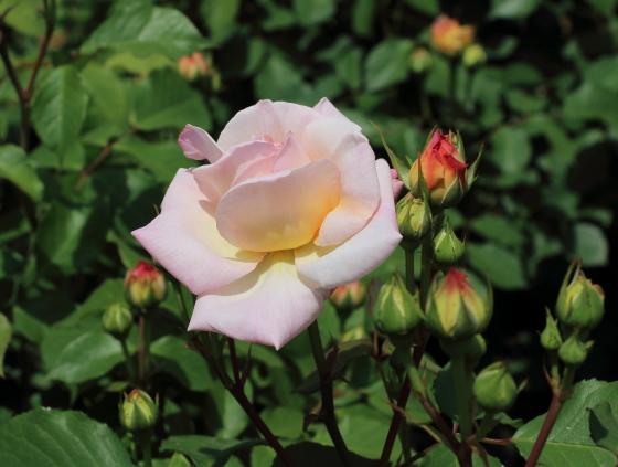 グルス アン アーヘンはロゼット咲き