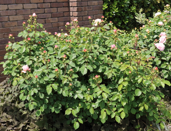 グルス アン アーヘンの花色はクリームピンクブレンド色の花