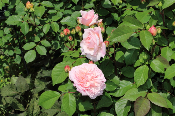 グルス アン アーヘンは花径10cm以上の大輪花です