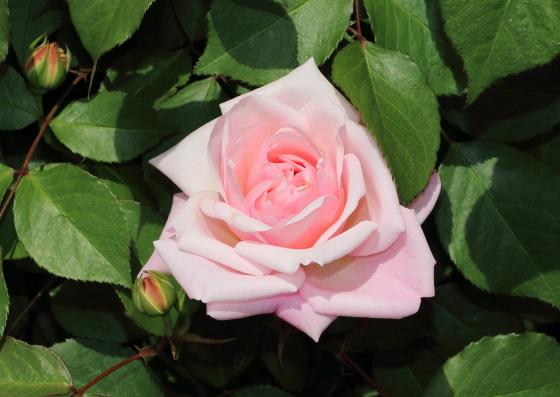 グルス アン アーヘンは四季咲きです