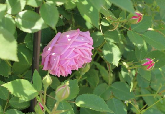 ヘルモサはチャイナ系統のバラ