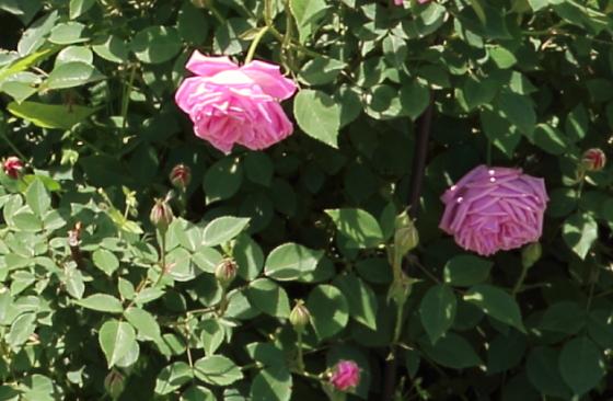 ヘルモサは濃いピンク色の中輪花