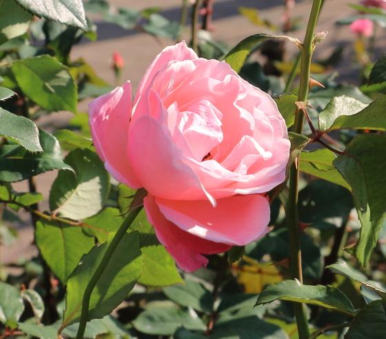 レディ・ラックは四季咲き
