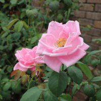 マダム・カロリーヌ・テストゥは四季咲きです