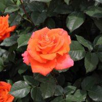 モニカは四季咲き品種です