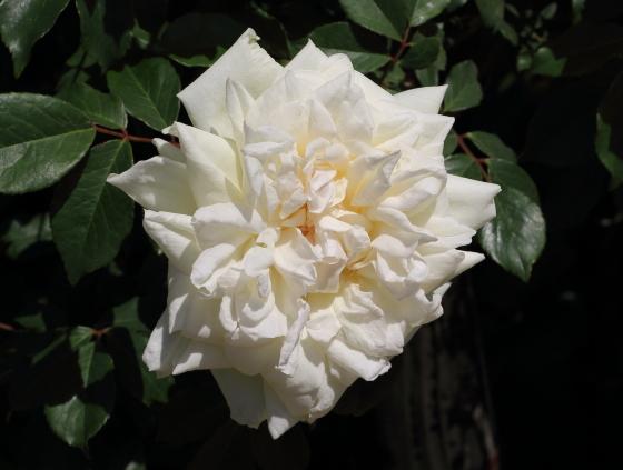 パークス・イエロー・ティー・センティッド・チャイナは四季咲き