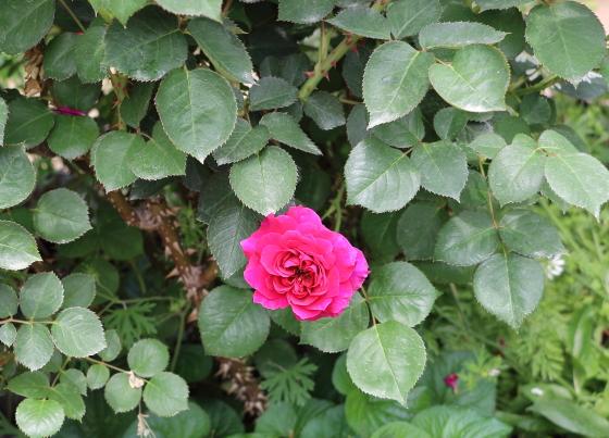 プロスペロは中輪ロゼット咲きです
