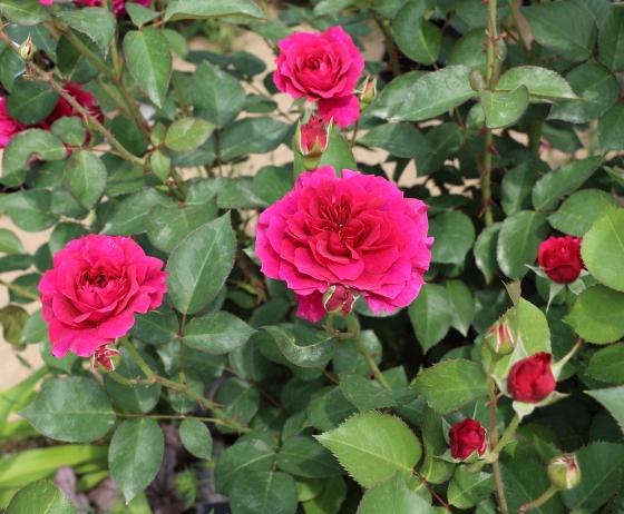 プロスペロはシュラブ系統のバラです