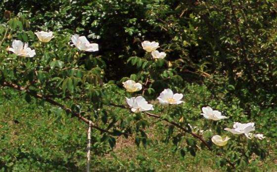 ロサ・ギガンティアは一季咲き