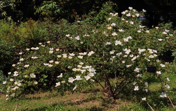 ロサ・ギガンティアはシュラブ樹形の横張り性