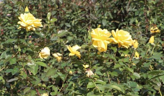 秋月は剣弁高芯咲きです