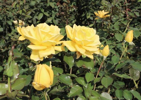 秋月は四季咲きのバラです