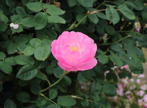 スカイラークは四季咲きです