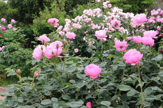 スカイラークはライラックピンク色の中輪花