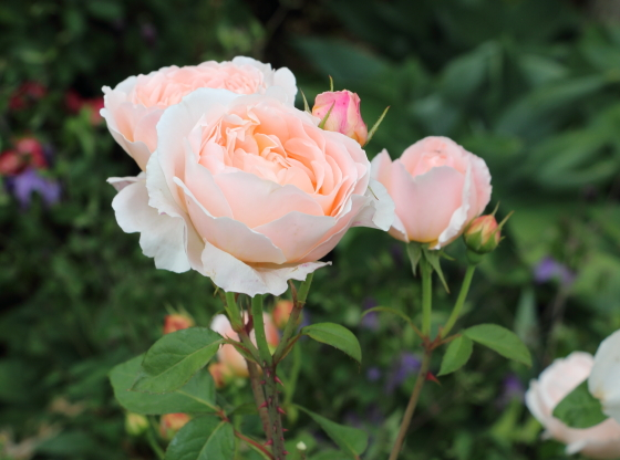 タモラはロゼット咲きです