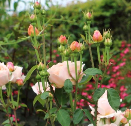 タモラは四季咲きです