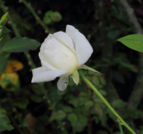 ヴィルゴは花径13cmの大輪花です