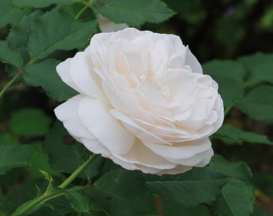 丸弁カップ咲きの白バラ