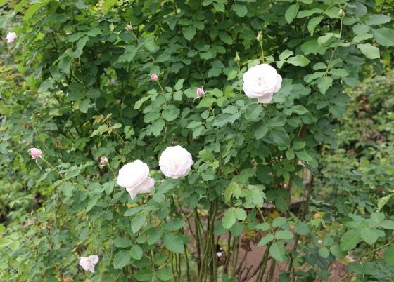 ブルボン系統の白バラ