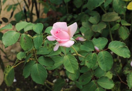 大輪サイズのバラ