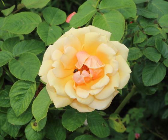 ピンクにオレンジ色の雑じる花色