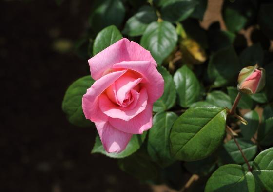 ニュージーランドはローズピンク色のバラ