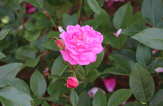 オーキッド・ロマンスは四季咲き性