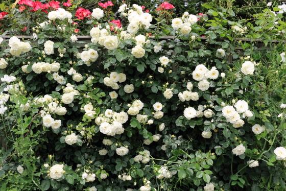 スノーストームは白色のつるバラです