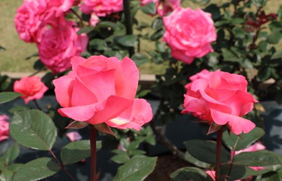 スペルバウンドは四季咲き性