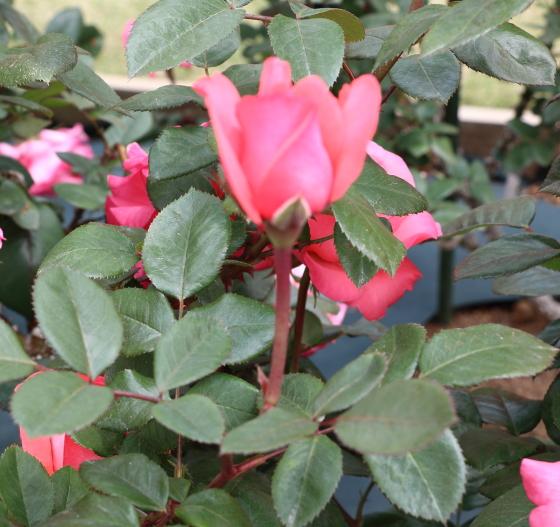 スペルバウンドは半剣弁咲きです