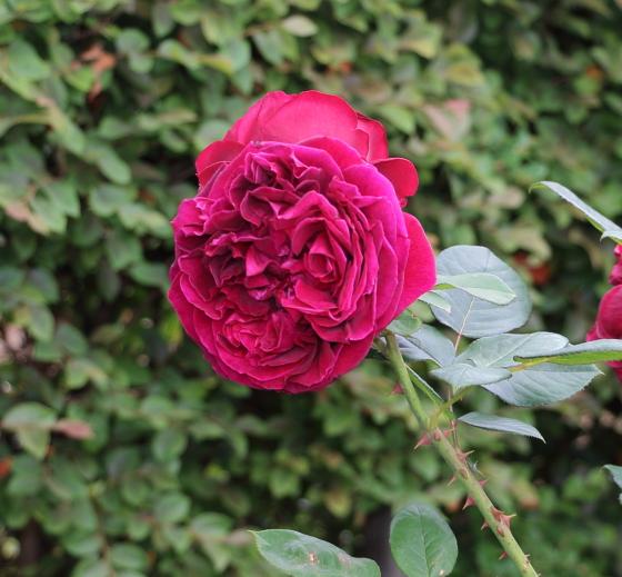 ザ・スクワイヤはスカーレット色のバラ
