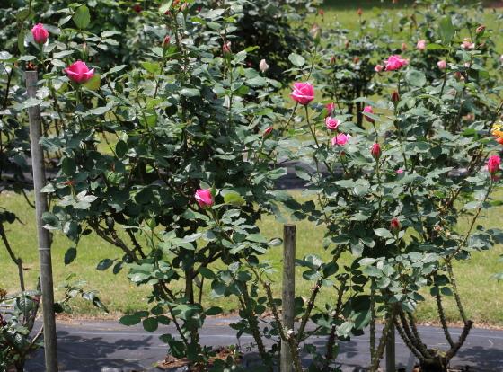 アーザムローズは剣弁高芯咲きです