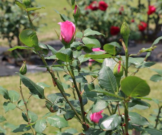 アーザムローズは四季咲きです