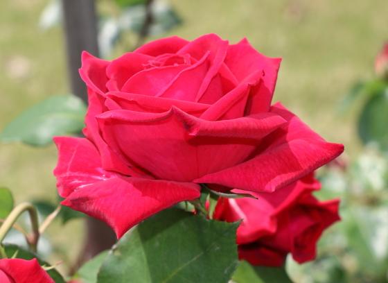 エナハークネスは剣弁高芯咲きです